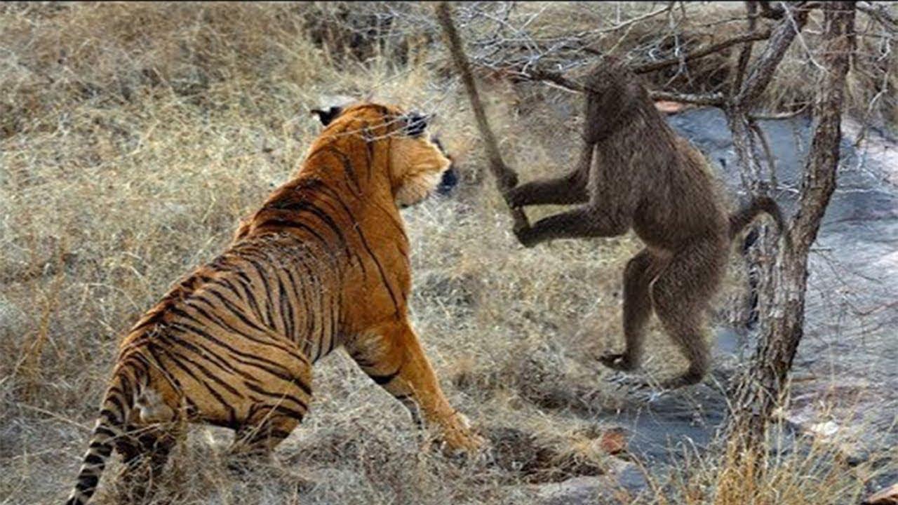 Tiger Vs Monkey - Tiger Hunting Monkey - Wildlife ...