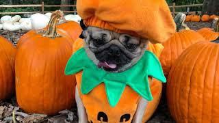 Веселые костюмы для животных. Смешное видео собак. Прикол