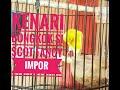 Kenari Bongkok Si Scot Fancy Impor  Mp3 - Mp4 Download