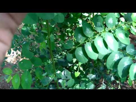 sweet leaf, Star Gooseberry Plant (Sauropus androgynus)   Herb Plant   Exotic Plant