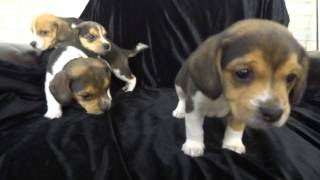 Miniature Pocket Beagle Puppies Tiny Toy Beagles Pure Bred 5 Weeks Olds New Litter For Sale