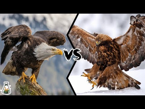 BALD EAGLE VS GOLDEN EAGLE - Which Is More Powerfull?