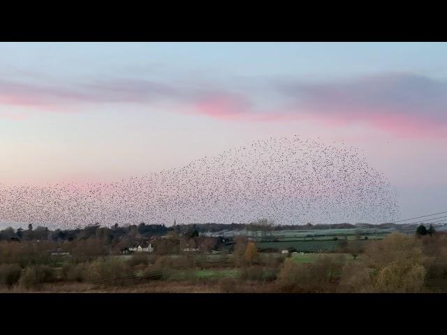 Starling murmuration 2 - Nafford Weir, River Avon - 25 Nov 2020