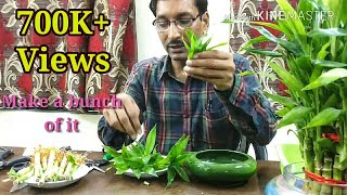 How to Propagate Lucky Bamboo through Cuttings. thumbnail