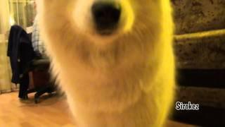 Самоед - классная собака