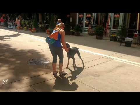Jumping Doberman turns into perfect gentleman! Off Leash K9 Training Knoxville TN