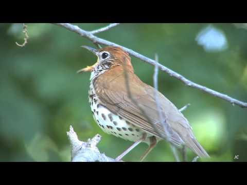 Wood Thrush Song, Mt. Auburn Cemetery