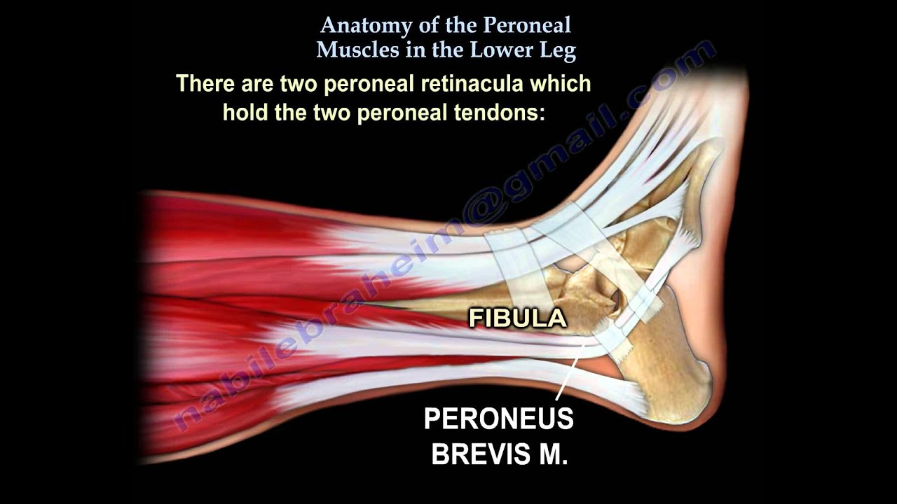 Anatomy Of The Peroneal Muscles In The Lower Leg - Everything You ...