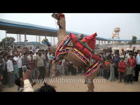 Camel dance competition at Pushkar Fair, Rajasthan