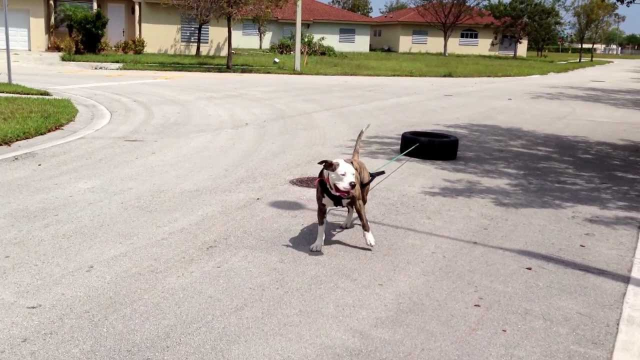 Buddyamerican bull dog pulling a tire youtube sciox Images