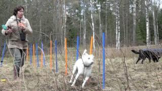 Dog Fun - Frisbee, Weave Poles (border Collie X German Shepherd Mix Dogs)