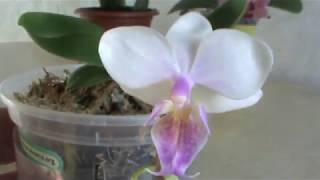 """Орхидеи. Разочарование. Не покупайте """"кота в мешке"""""""