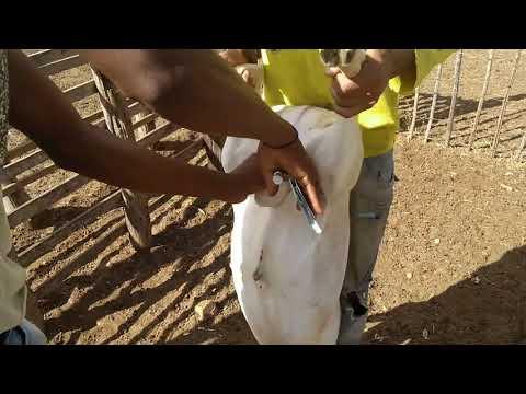 O modo mais fácil de castrar ovinos caprinos e bezerros. Vendas pelo Zapp 81 999221696