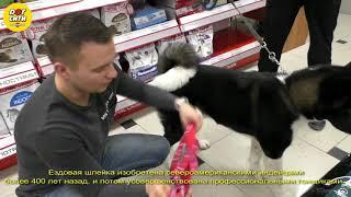 Как подобрать ездовую шлейку для собаки