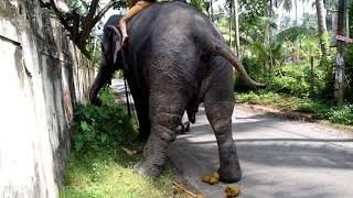 Слон какает. Зачем местные это делают?