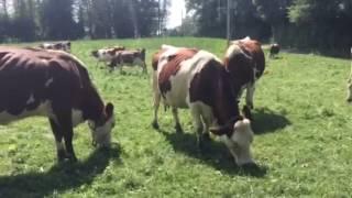 Larringes: la vache abondance