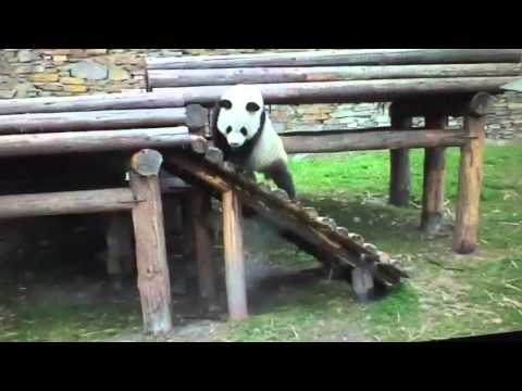 Wolong National Nature Reserve - Panda doing the side step