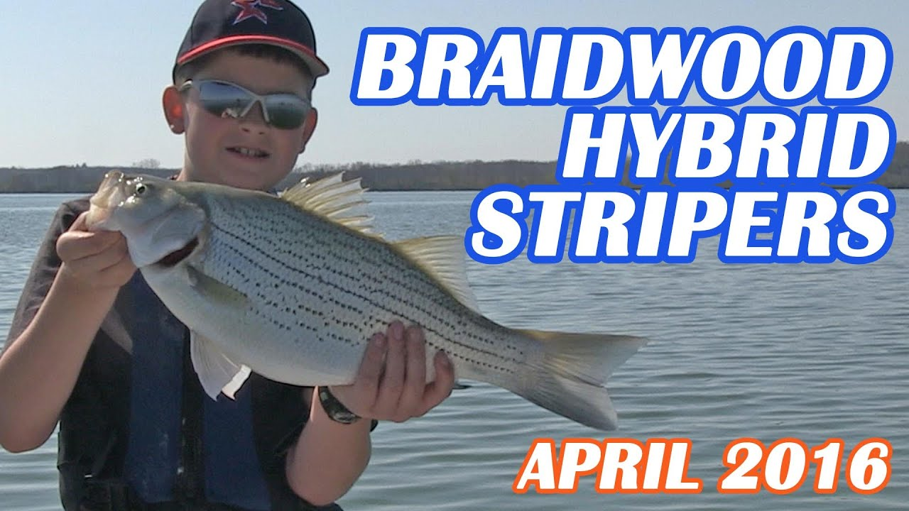 Bear Stripers braidwood lake hybrid stripers!