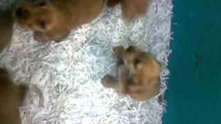 Ad004684451 Cocker Spaniel Puppies(english)