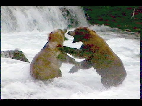 Filming Grizzlies Fishing For Salmon, Brooks Falls, Alaska -- A How To And What To Expect