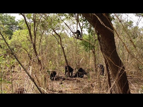 ISU anthropologist witnesses rare, lethal aggression in African chimps
