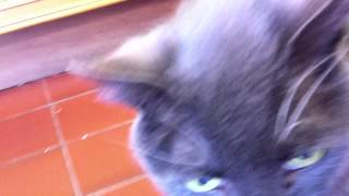 Blue the cat needs a home at the GSPCA Animal Shelter, Guernsey