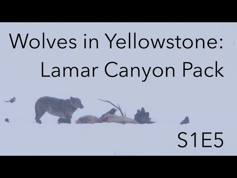 Wolves in Yellowstone | Behind The Lens | S1E5 | Inspire Wild Media