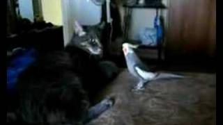 Cats meowing or talking