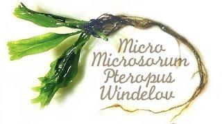 ミクロミクロソリウムだま