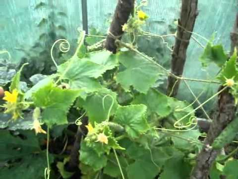A Look At Our Cucumber Plant Youtube