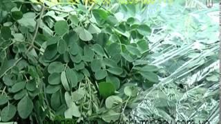 Có nên ăn rau chùm ngây - VTC14