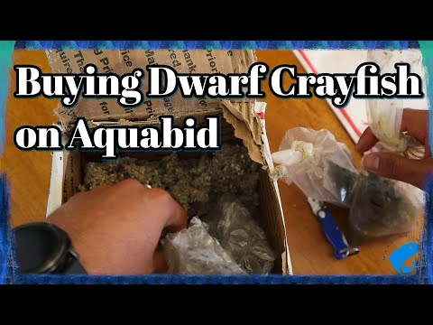 Buying Dwarf Crayfish Online On Aquabid - Dwarf Crayfish (Cambarellus Genus)