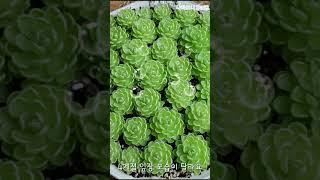 벌레잡이제비꽃,에셀리아나