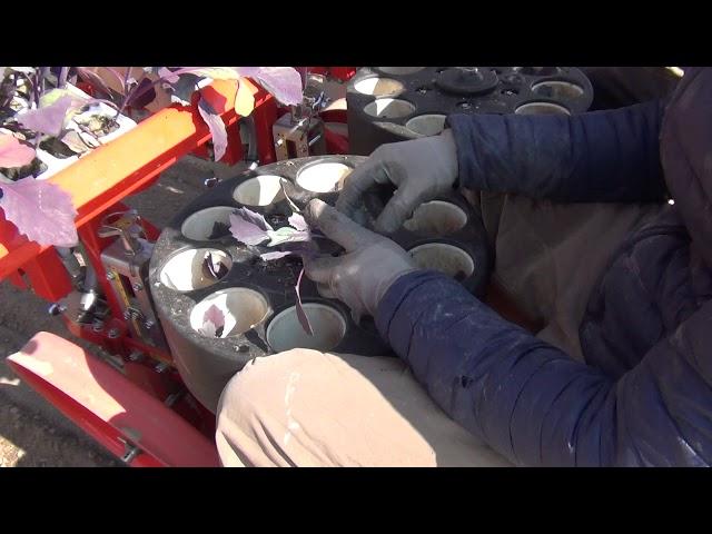 CHECCHI & MAGLI - TRIUM45 3 ROWS FRANCE - RED CABBAGES TRANSPLANTER