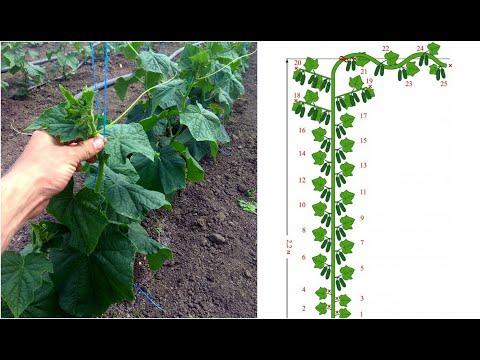 Формирование огурца в один ствол для большого урожая