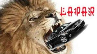 #singa #infomenarik Singa lapar