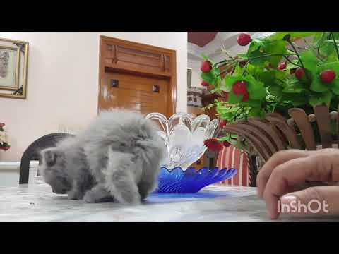 Persian Kittens For Sale Age : 1.5 Months.