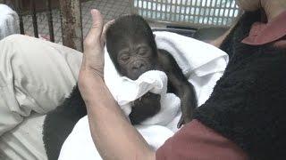 東山動植物園は人工哺育のニシローランドゴリラ・アニーを群れに戻す飼...