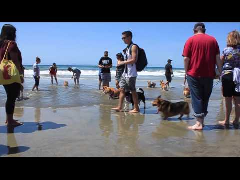 Corgis Have Beach Party And You're Invited