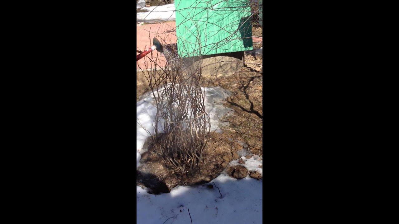 Обработка кипятком кустарников весной