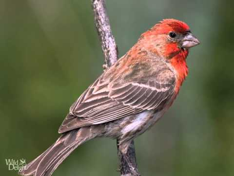 Red House Finch Song - bird  Singing