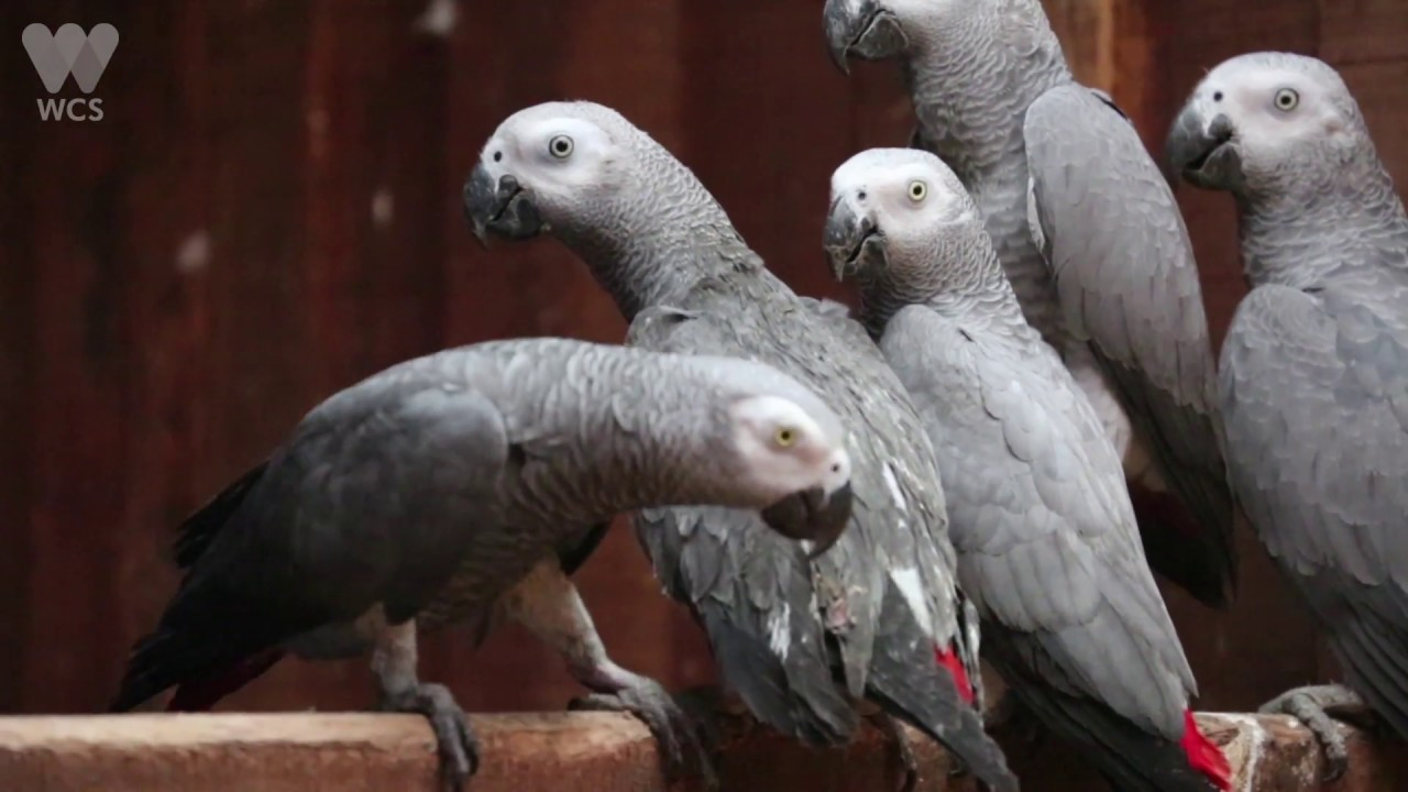 This Popular Parrot 'Talks' Like Us  But We're Silencing It