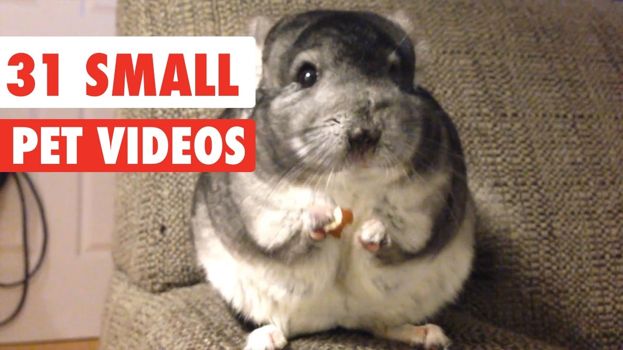 31 Small Pet Videos Compilation 2016