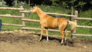 Akhal-teke stallion Prospekt