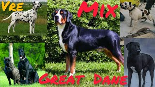Top12 Amazingly cross breds Great Dane #13 ( St Bernard, Am.Bulldog, Newfoundland, Irish Wolfhound)