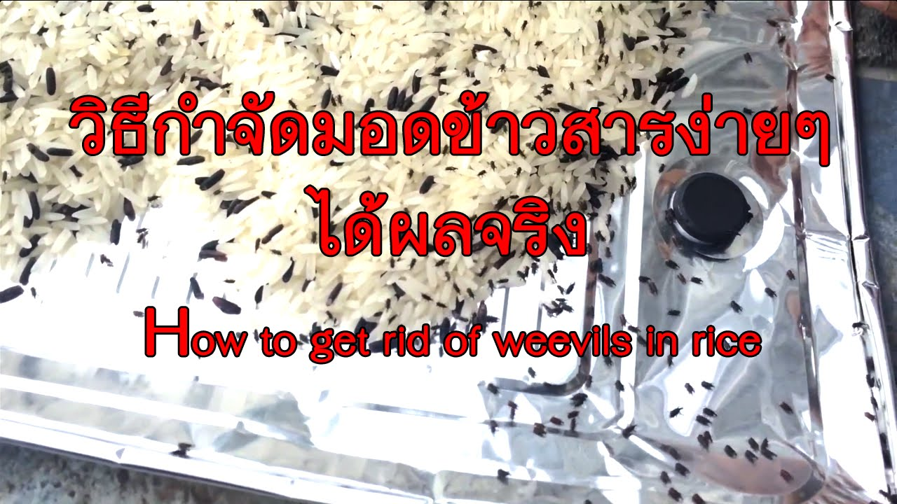 weevils how to get rid of them