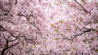 Sakura Koto