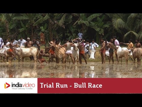 Trial Run before the bull race at Kakkoor