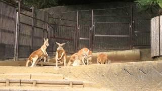 動物園のカンガルーコーナーで突然始まった一本勝負! 見所は左のファイ...