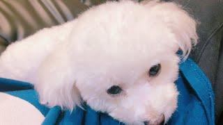 【ほのぼの日記】愛犬のたぴちゃんをトリミングしてきた。【ころん】カメラ すとぷり